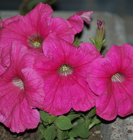 "Squak Mtn Petunia 'Easy Wave Neon Rose' 4"" Pot"