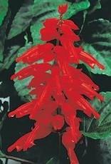 "Squak Mtn Salvia 'Red Hot Sally II' 4"" Pot"