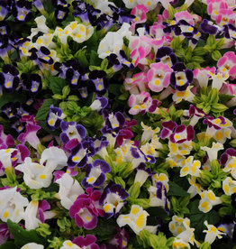 "Squak Mtn Torenia Kauai 'Mix' 4"" Pot"