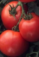 "Squak Mtn Tomato 'Early Girl' 4"" Pot"