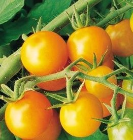 "Squak Mtn Tomato 'Sungold' cherry 4"" Pot"