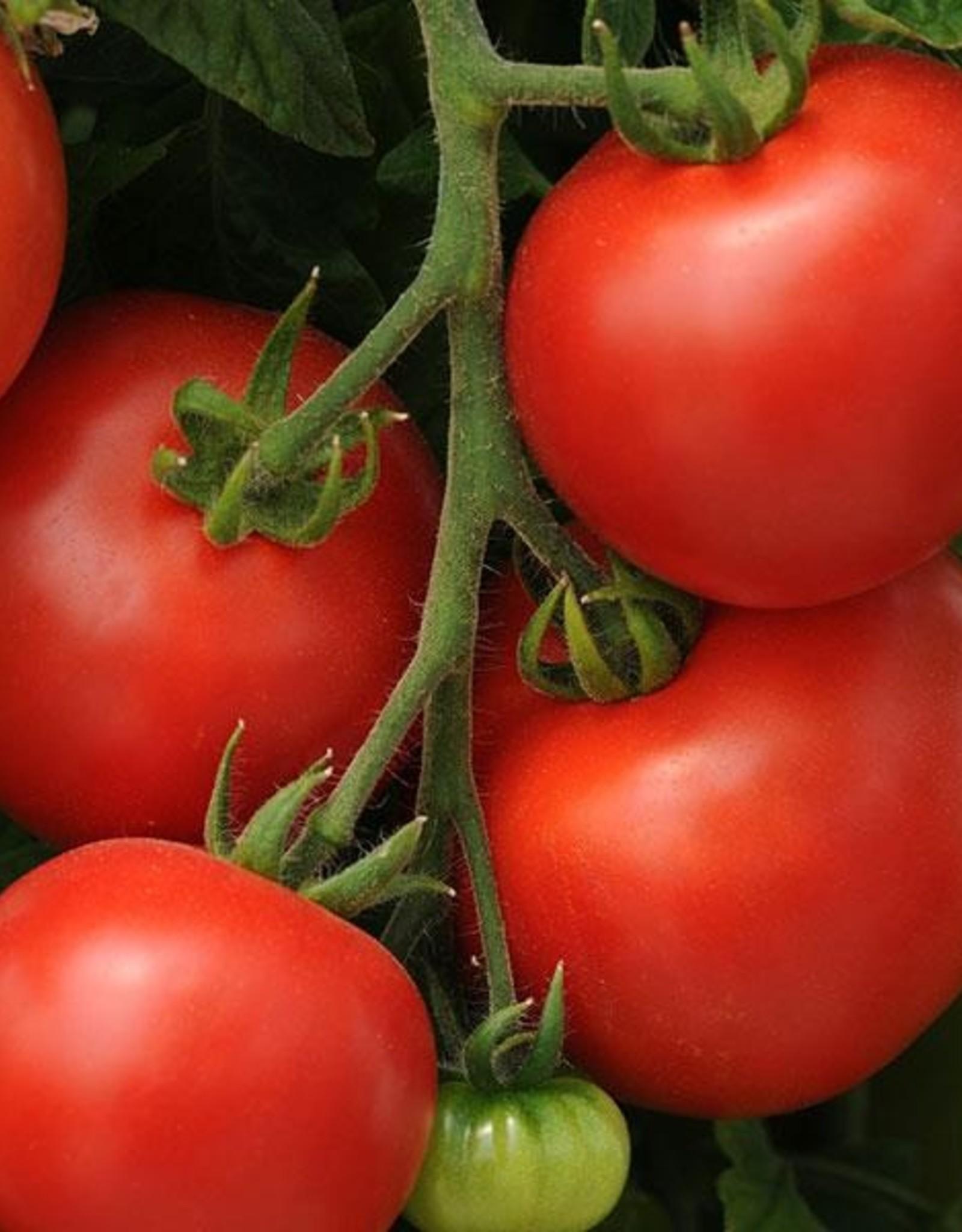 """Squak Mtn Tomato 'Homeslice' 4"""" Pot"""