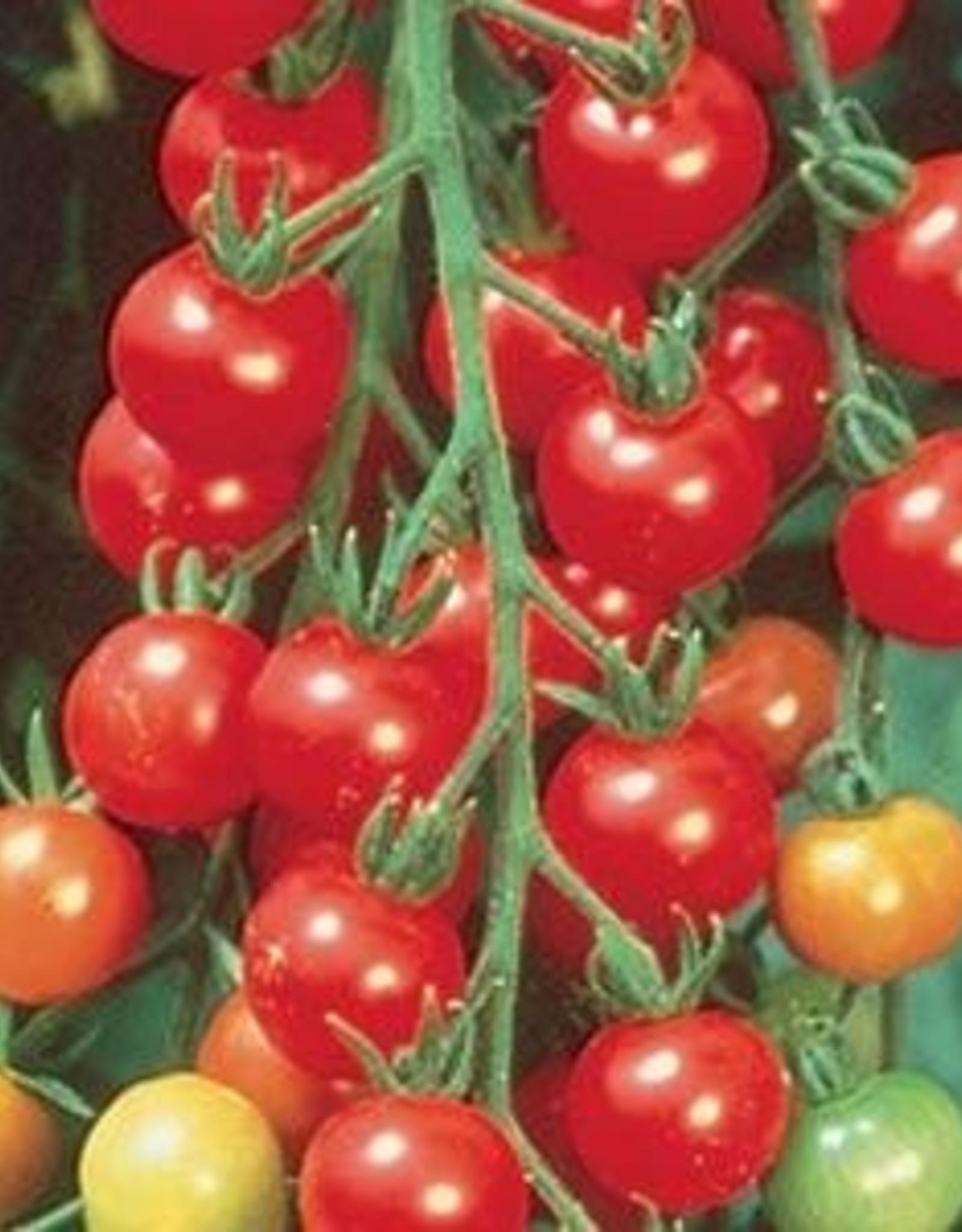 """Squak Mtn Tomato 'Sweet 100 Cherry' 4"""" Pot"""