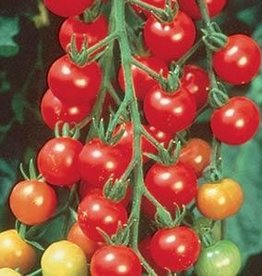 "Squak Mtn Tomato 'Sweet 100 Cherry' 4"" Pot"