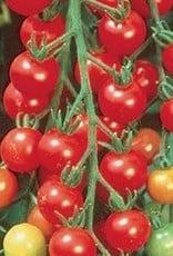 """Squak Mtn Tomato 'Sweet 100 Cherry' 2"""" Pot"""