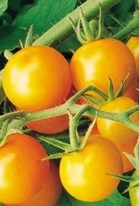 "Squak Mtn Tomato 'Sungold Cherry'  2"" Pot"