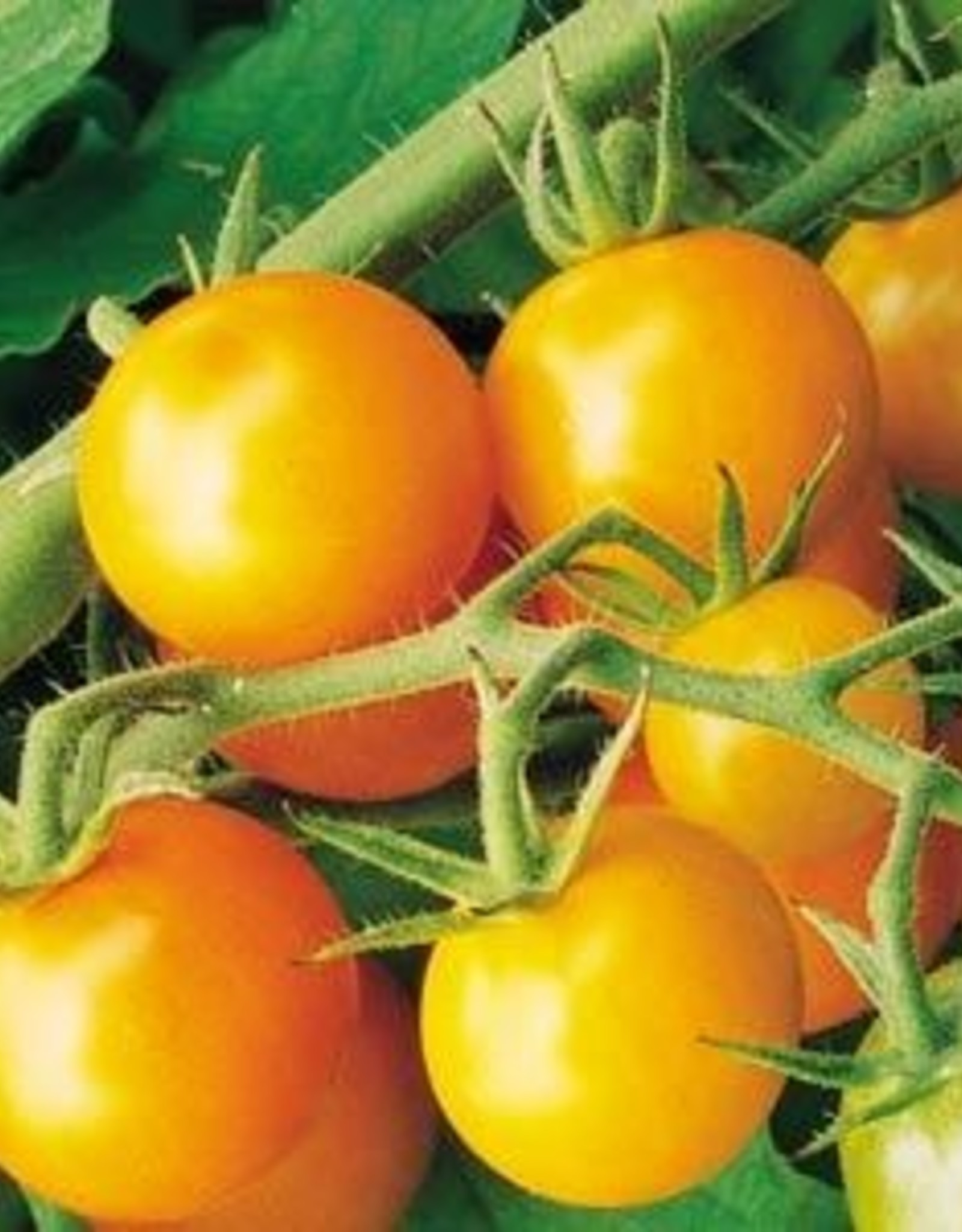 "Squak Mtn Tomato 'Sungold Cherry'  2"" Pot"