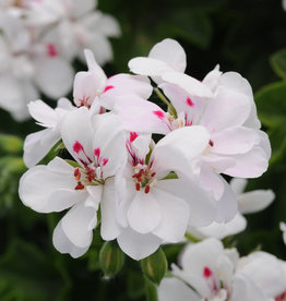 "Squak Mtn Ivy Geranium 'Precision White Red Eye' 4"" Pot"