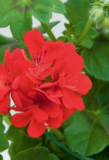 "Squak Mtn Ivy Geranium 'Royal Brilliant Red' 4"" Pot"