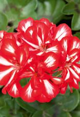 "Squak Mtn Ivy Geranium 'Royal Sweet Candy' 4"" Pot"
