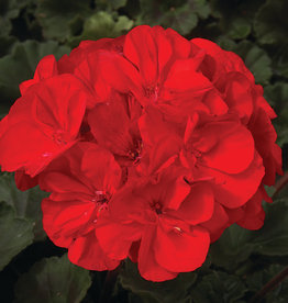 "Squak Mtn Zonal Geranium 'Moonlight Brilliant Red' 4"" Pot"