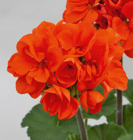 "Squak Mtn Zonal Geranium 'Moonlight Coral' 4"" Pot"
