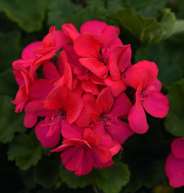 "Squak Mtn Zonal Geranium 'Moonlight Dark Fuscia' 4"" Pot"