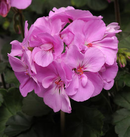 "Squak Mtn Zonal Geranium 'Moonlight Lavender' 4"" Pot"