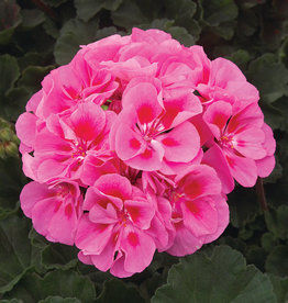 "Squak Mtn Zonal Geranium 'Moonlight Pink Eye' 4"" Pot"