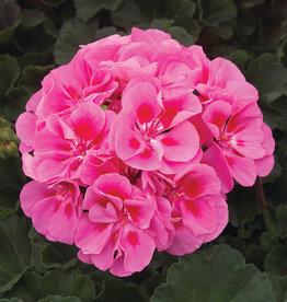 "Squak Mtn Zonal Geranium 'Moonlight Pink Eye' 4"" Pot"