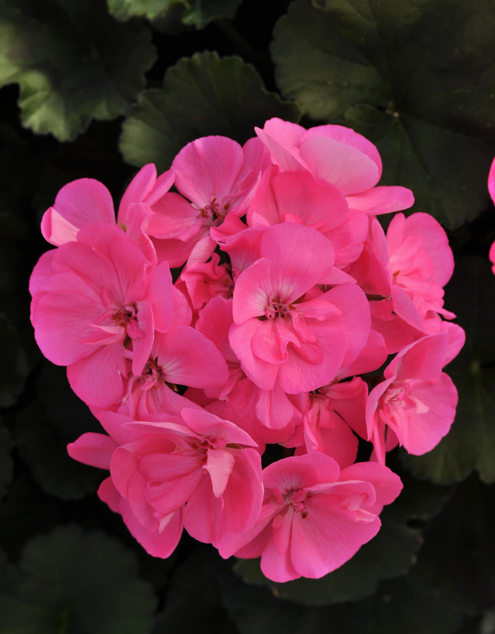 """Squak Mtn Zonal Geranium 'Moonlight Pink' 4"""" Pot"""