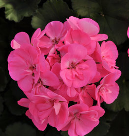 "Squak Mtn Zonal Geranium 'Moonlight Pink' 4"" Pot"