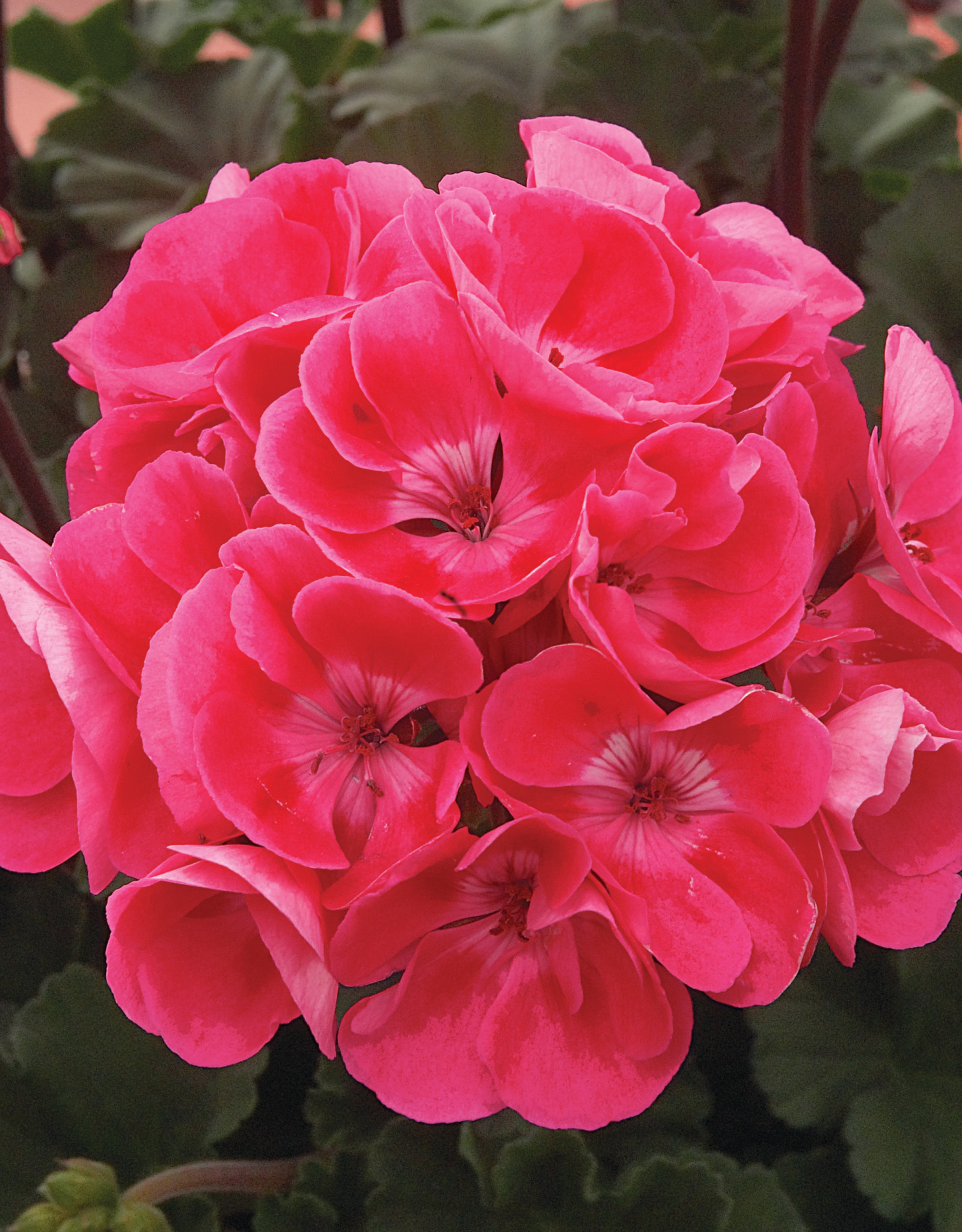 "Squak Mtn Zonal Geranium 'Moonlight Rasberry Blush' 4"" Pot"