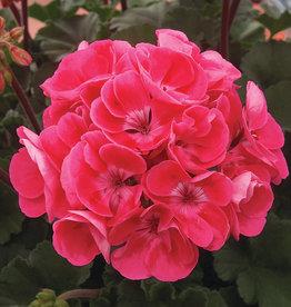"Squak Mtn Zonal Geranium 'Moonlight Rasberry Blush' 4"" Pot"