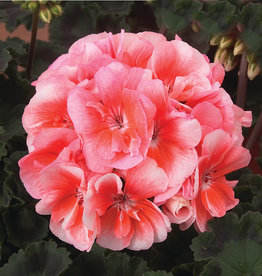 "Squak Mtn Zonal Geranium 'Moonlight Light Salmon' 4"" Pot"