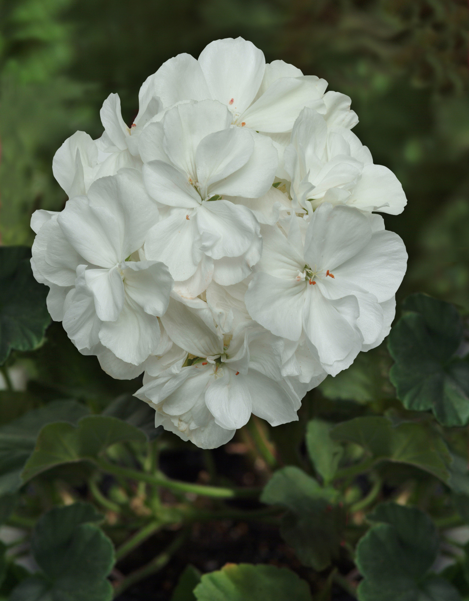 "Squak Mtn Zonal Geranium 'Moonlight White' 4"" Pot"
