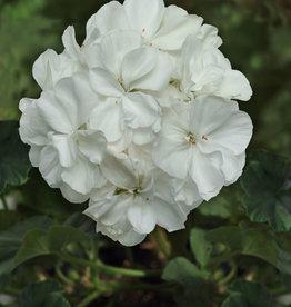 "Squak Mtn Zonal Geranium 'Moonlight White' 4"" Pot"