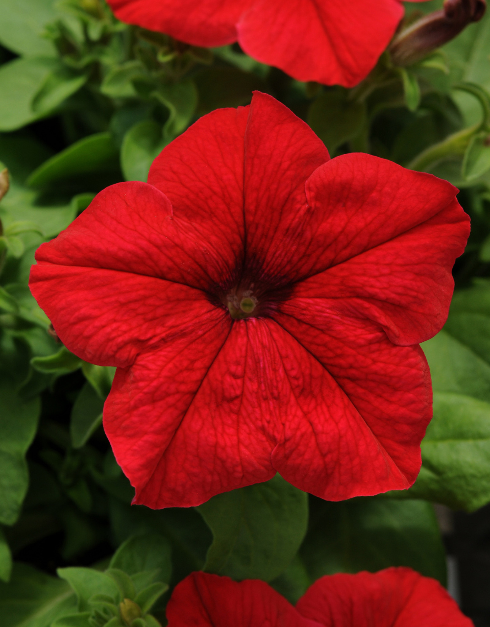 Squak Mtn Petunia 'Pretty Grand Red' Pack