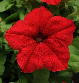 Squak Mtn Petunia 'Pretty Grand Red' Pack