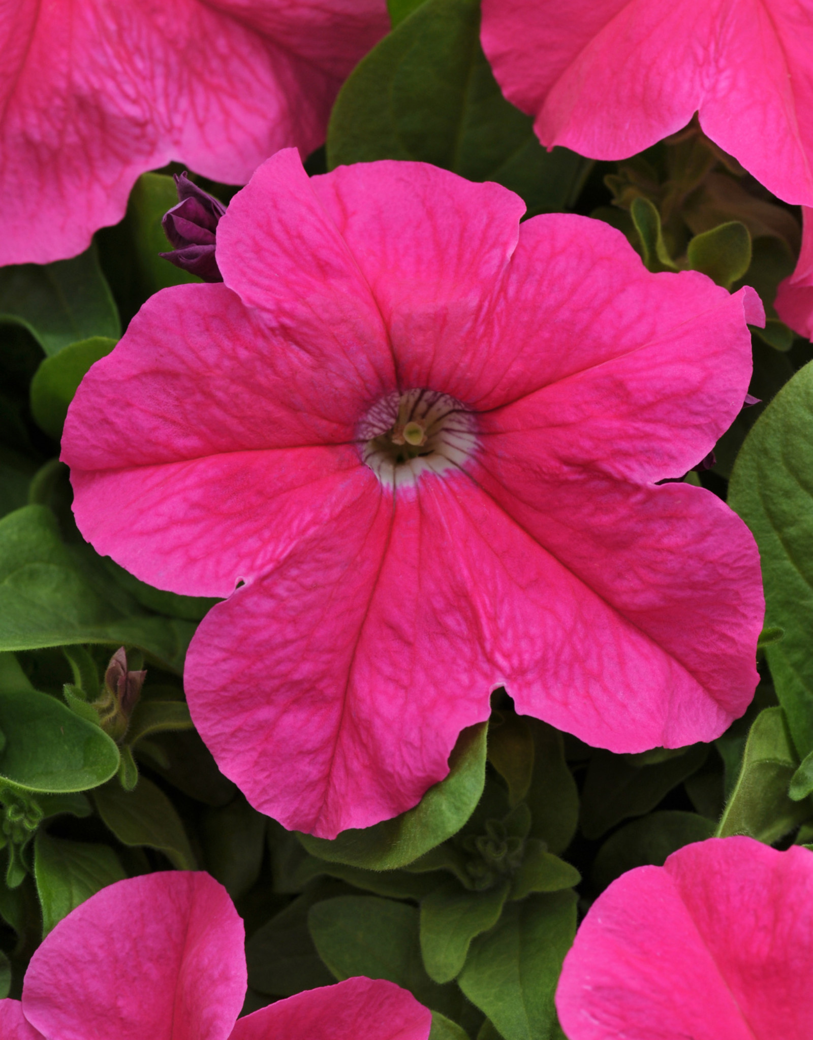 Squak Mtn Petunia 'Pretty Grand Deep Pink' Pack