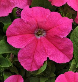 Squak Mtn Petunia 'Pretty Grand Deep Pink' Pack