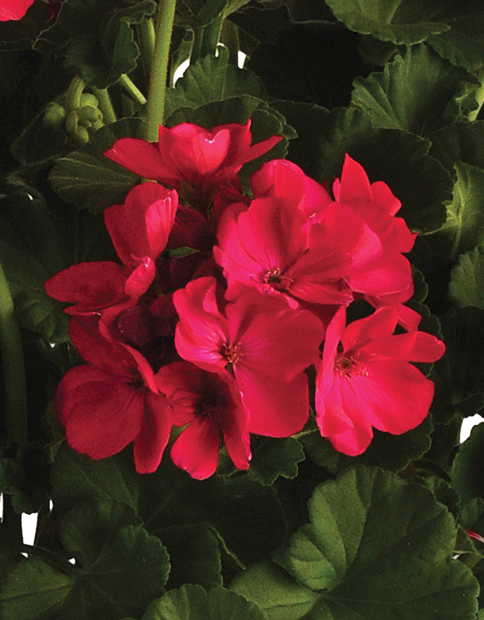 "Squak Mtn Zonal Geranium 'Sunrise Fuchsia' 4"" Pot"