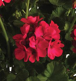"Squak Mtn Zonal Geranium 'Sunrise Fuchsia' 4"" Pot"