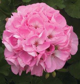 "Squak Mtn Zonal Geranium 'Sunrise Light Pink' 4"" Pot"