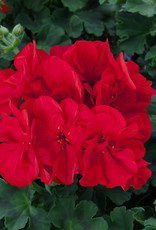 "Squak Mtn Zonal Geranium 'Sunrise Dark Red' 4"" Pot"