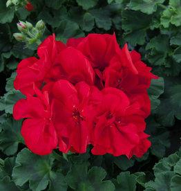 """Squak Mtn Zonal Geranium 'Sunrise Dark Red' 4"""" Pot"""