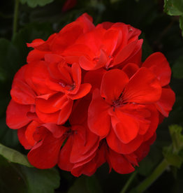 """Squak Mtn Zonal Geranium 'Sunrise Red' 4"""" Pot"""
