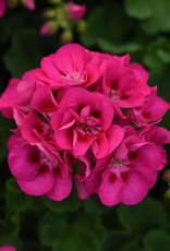 "Squak Mtn Zonal Geranium 'Sunrise Rose Hot Eye' 4"" Pot"