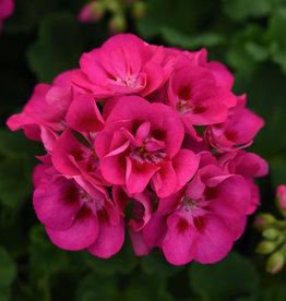 "Squak Mtn Zonal Geranium 'Sunrise Rose Hot Eye' 4"" Pot"