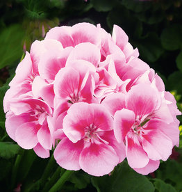 "Squak Mtn Zonal Geranium 'Sunrise Rasberry Eye' 4"" Pot"