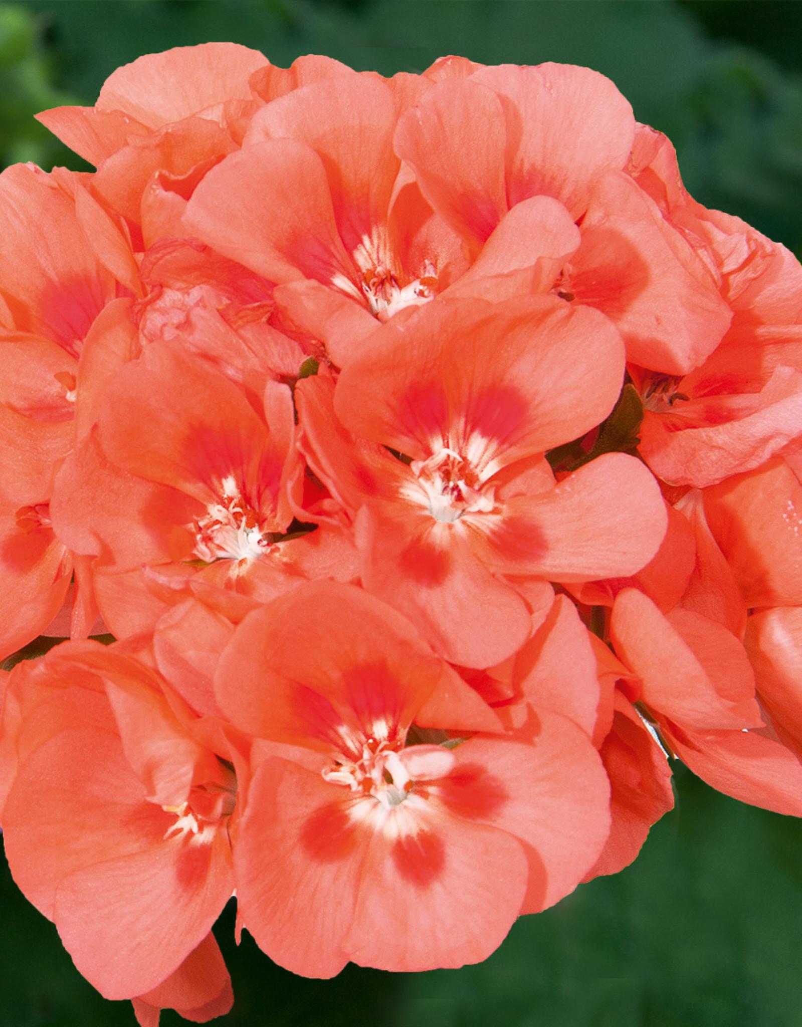 "Squak Mtn Zonal Geranium 'Sunrise Salmon Red Eye' 4"" Pot"