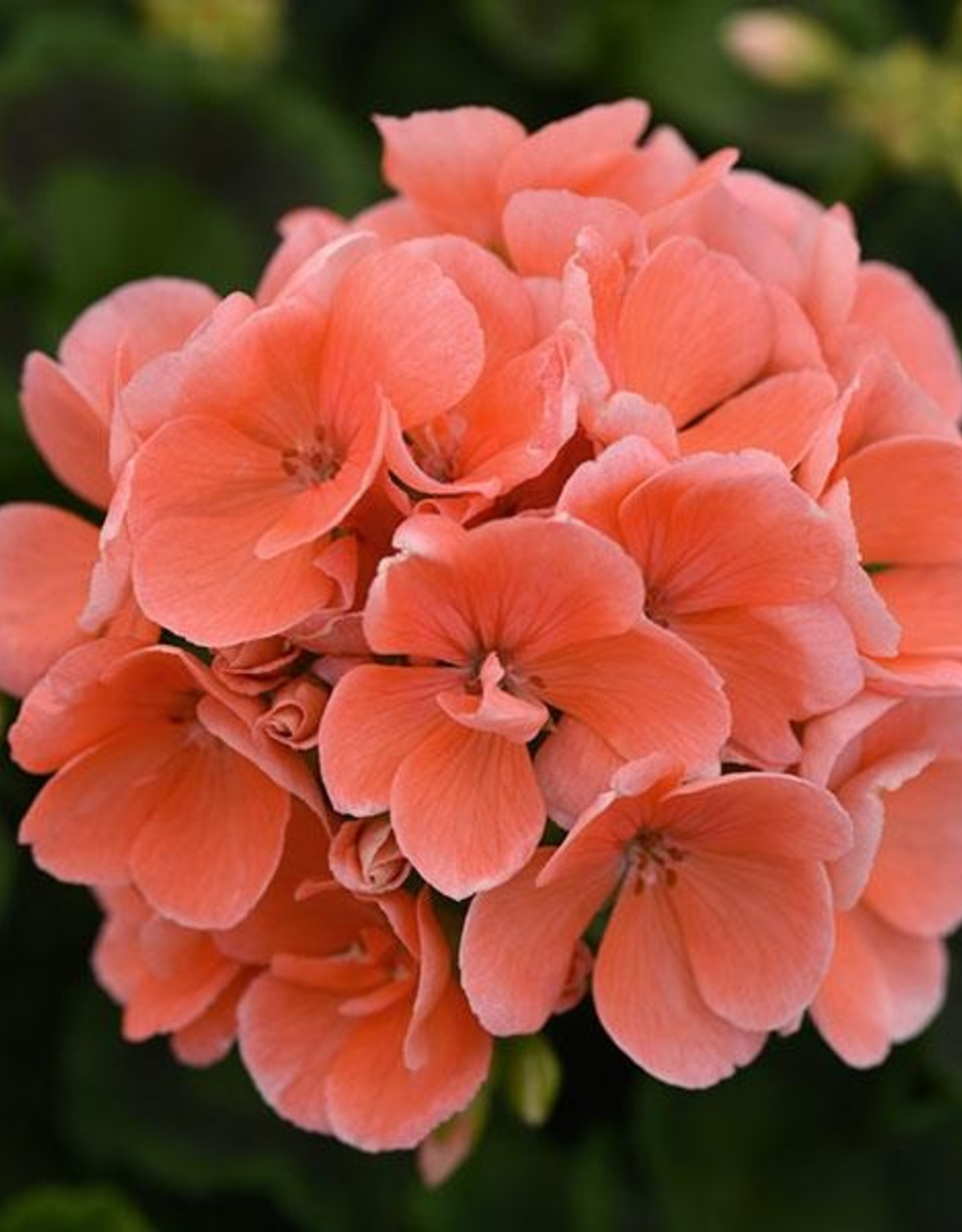 "Squak Mtn Zonal Geranium 'Sunrise Salmon' 4"" Pot"