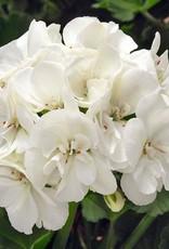 """Squak Mtn Zonal Geranium 'Sunrise White' 4"""" Pot"""