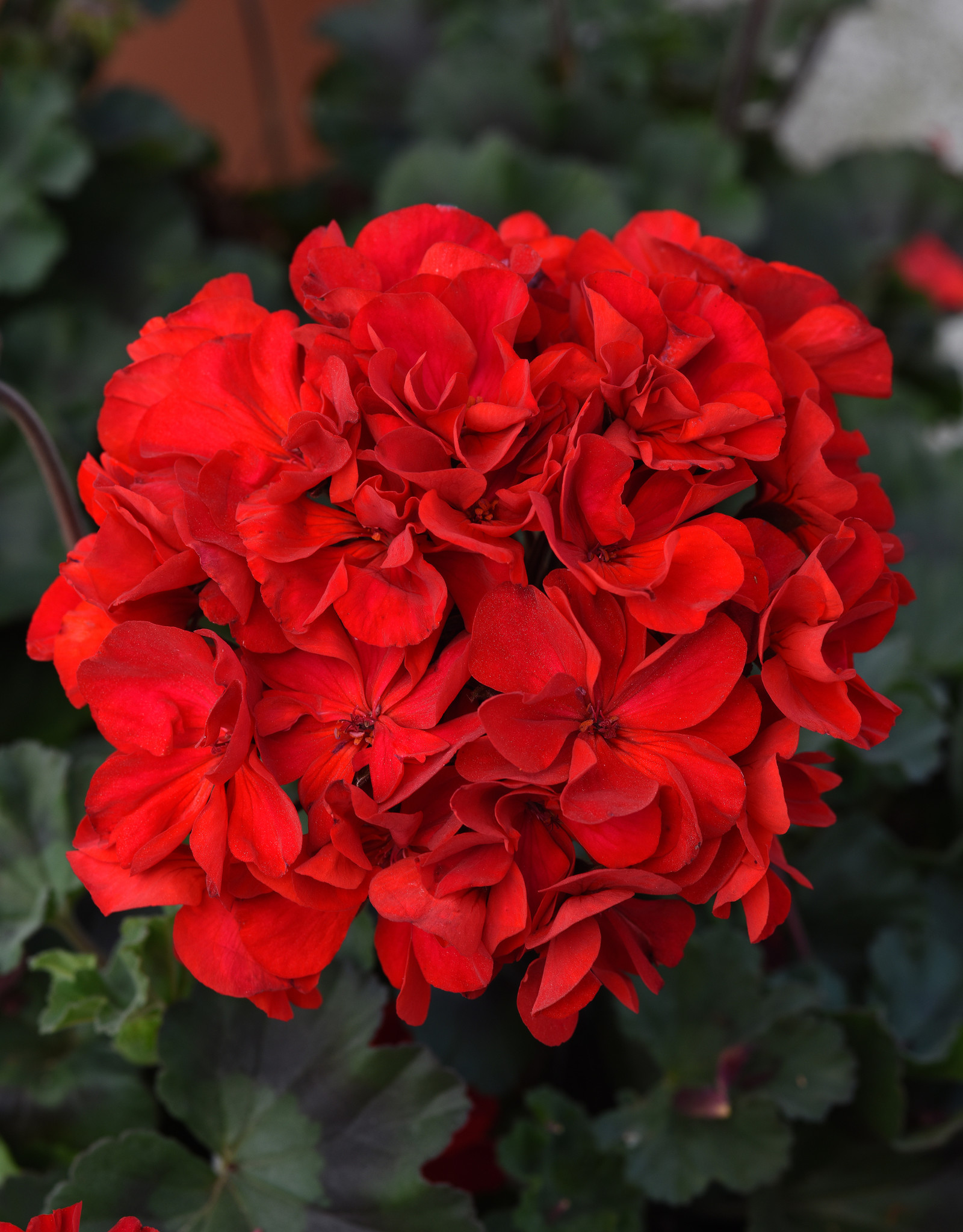 "Squak Mtn Zonal Geranium 'Supermoon Red' 4"" Pot"