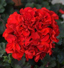 "Squak Mtn Zonal Geranium 'Supermoon Red' 4"" Pot"