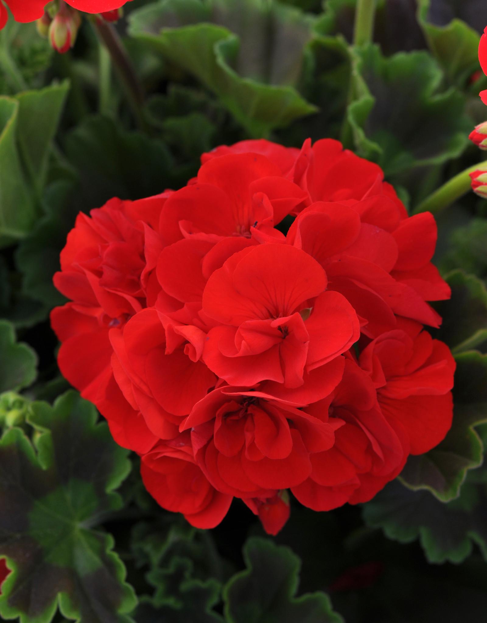 """Squak Mtn Zonal Geranium 'Sunrise Bright Red' 6"""" Pot"""