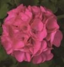"Squak Mtn Zonal Geranium 'Sunrise Bright Lilac' 6"" Pot"