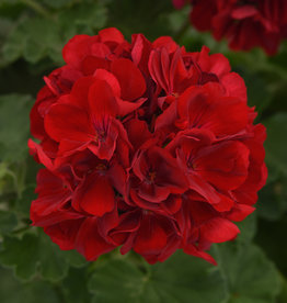 "Squak Mtn Zonal Geranium 'Sunrise Dark Red' 6"" Pot"