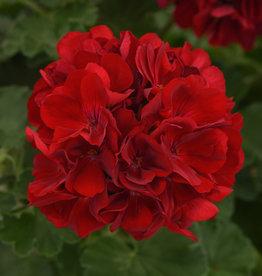 """Squak Mtn Zonal Geranium 'Sunrise Dark Red' 6"""" Pot"""