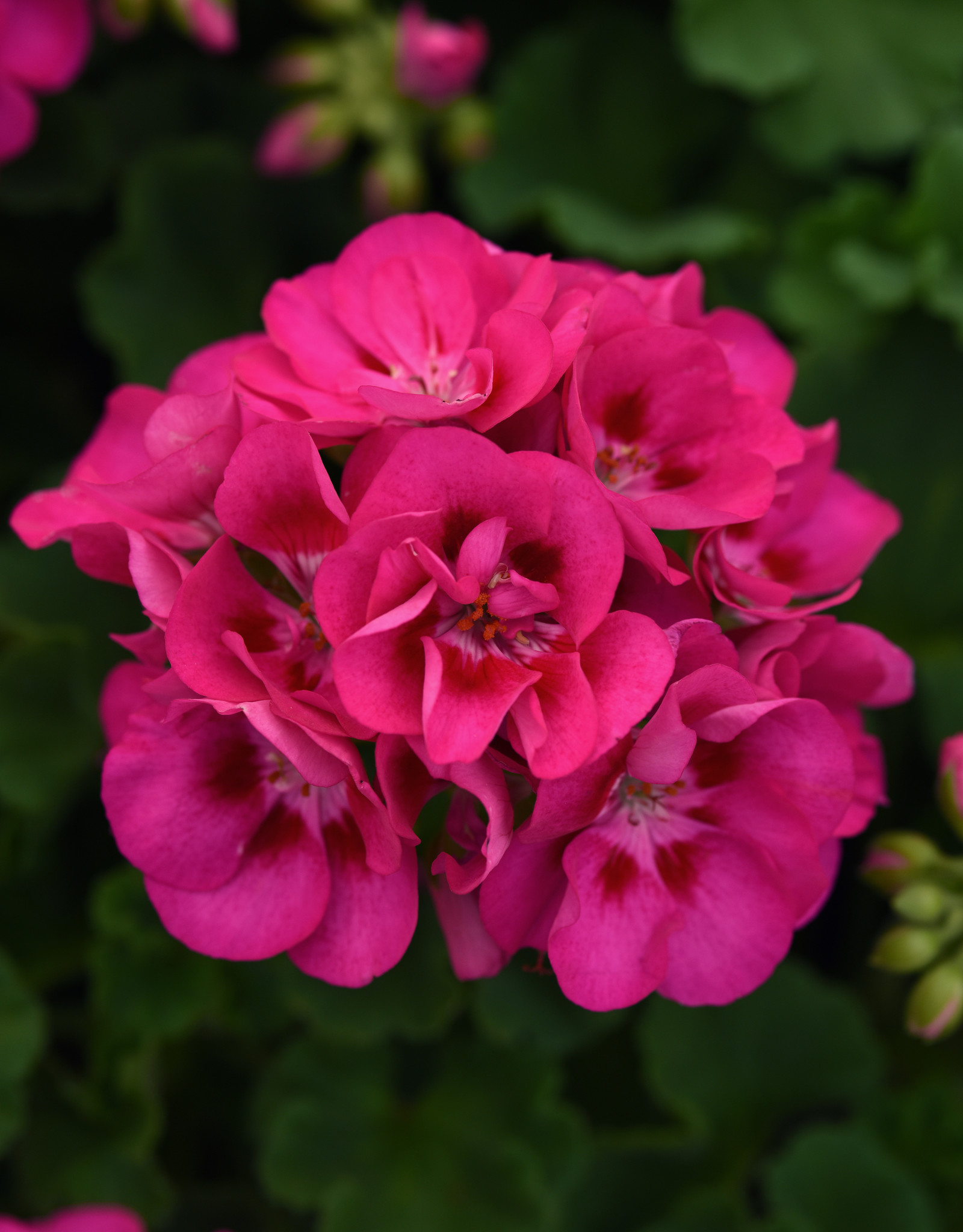 "Squak Mtn Zonal Geranium 'Sunrise Rose Hot Eye' 6"" Pot"